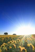 ヒマワリ畑と朝日と木立 22320041679| 写真素材・ストックフォト・画像・イラスト素材|アマナイメージズ