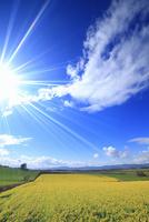 ヒマワリ畑と木立 22320041697| 写真素材・ストックフォト・画像・イラスト素材|アマナイメージズ