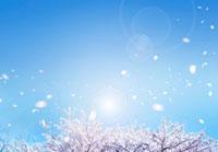 桜の木と風に舞い散る花びら 22323001458| 写真素材・ストックフォト・画像・イラスト素材|アマナイメージズ