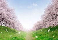 桜並木と風に舞い散る花びら