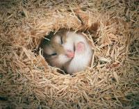 巣穴で眠るハムスター
