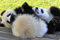 双子パンダ 桜浜 桃浜 アドベンチャーワールド 22359010092| 写真素材・ストックフォト・画像・イラスト素材|アマナイメージズ