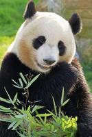 パンダ アドベンチャーワールド 22359010133| 写真素材・ストックフォト・画像・イラスト素材|アマナイメージズ