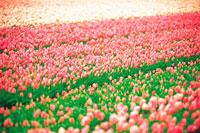 ピンクのお花畑