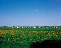 牛のいる広大な牧草地