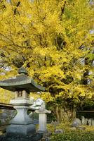 長楽寺の大イチョウ, 22366003845| 写真素材・ストックフォト・画像・イラスト素材|アマナイメージズ