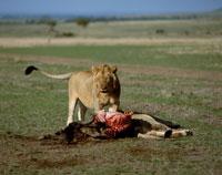 ヌーを食べるライオン