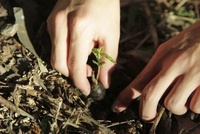 発芽したクヌギを植える