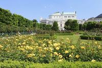 フォルクス庭園に咲くバラとブルク劇場