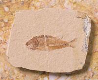 古代魚の化石
