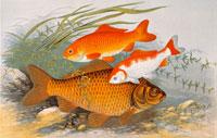 鯉の絵 22451012357  写真素材・ストックフォト・画像・イラスト素材 アマナイメージズ