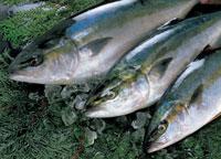魚 22451014984| 写真素材・ストックフォト・画像・イラスト素材|アマナイメージズ
