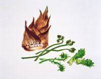 春の山菜・イラスト