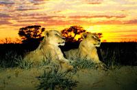 ライオン 22451032095| 写真素材・ストックフォト・画像・イラスト素材|アマナイメージズ