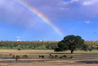 オグロヌーと虹