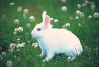 ウサギ 22451032268  写真素材・ストックフォト・画像・イラスト素材 アマナイメージズ