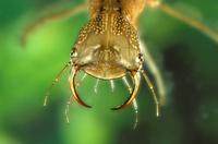 ゲンゴロウ幼虫 22451034433| 写真素材・ストックフォト・画像・イラスト素材|アマナイメージズ