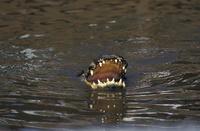水面で口を開けるアメリカアリゲーター
