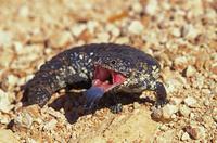 舌を出すアオジタトカゲ