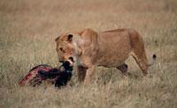 獲物を食べるライオン