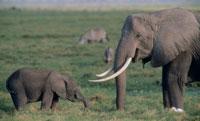 ゾウの親子 ケニア