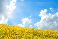 青い空と向日葵畑