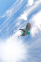 空飛ぶカワセミ