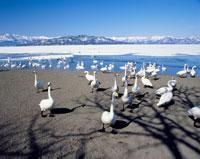 コタンの白鳥(砂場)