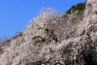 青空を背景に爛漫に咲き誇る霞間ヶ渓公園の枝垂れ桜 22500001230| 写真素材・ストックフォト・画像・イラスト素材|アマナイメージズ