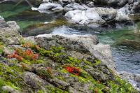 美しい渓流の流れを眼下に咲く岩ツツジの赤い花
