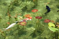 湧き水が美しいモネの池を回遊する2匹の鯉と睡蓮の葉