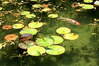湧き水が美しいモネの池を回遊する鯉と睡蓮の葉