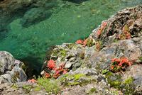 美しい渓谷の岩肌に咲く赤い岩ツツジの花