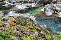 美しい渓流の岩肌に咲く赤い岩ツツジの花