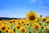 東海道新幹線を背景に太陽を浴びtr咲きほこる向日葵の花