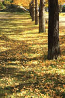 銀杏並木に舞う銀杏の落ち葉と朝の光と影