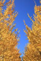青空の下黄色に色づく銀杏の葉