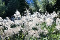 晩秋の風を受け池田山の裾野に白くたなびくススキの穂
