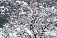 残り柿 山里に降る新雪