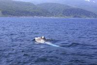ミンククジラの捕食