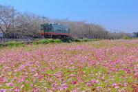 真岡鉄道とコスモス