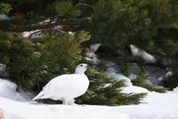 冬羽の白いライチョウのメス