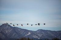 飛翔するオオヒシクイ