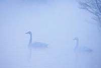 朝霧の池で泳ぐオオハクチョウ