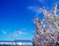 桜とゆりかもめ 22547000808| 写真素材・ストックフォト・画像・イラスト素材|アマナイメージズ