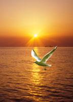 朝日とユリカモメ 22547000863| 写真素材・ストックフォト・画像・イラスト素材|アマナイメージズ