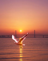 朝日のベイブリッジとユリカモメ 22547000864| 写真素材・ストックフォト・画像・イラスト素材|アマナイメージズ