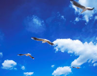 飛んで行くユリカモメ 22547000877| 写真素材・ストックフォト・画像・イラスト素材|アマナイメージズ