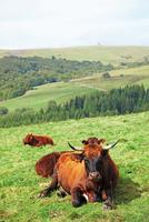フランス 中央高地の牛と牧草地