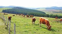 フランス 中央高地の牛と牧草地 22585002029| 写真素材・ストックフォト・画像・イラスト素材|アマナイメージズ